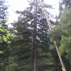redwood tree removal